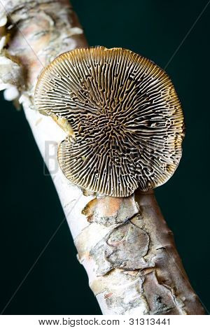 Mushroom on Birch Tree