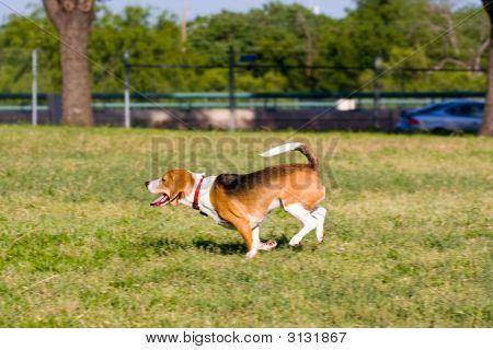 Run Beagle Run!