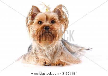 Retrato de mentira de Yorkshire Terrier