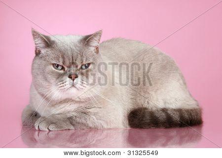 Dissatisfied British Cat