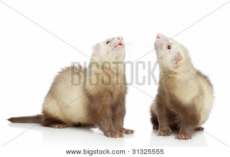 Two Ferrets Look Up