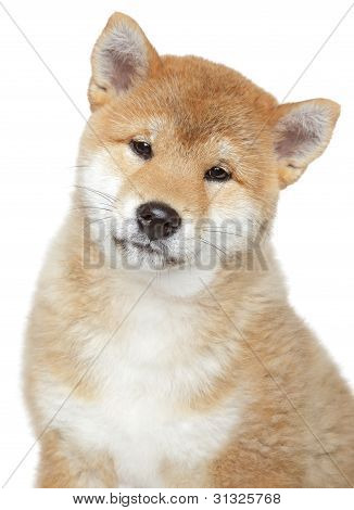 Shiba Inu Puppy, Isolated On White Background