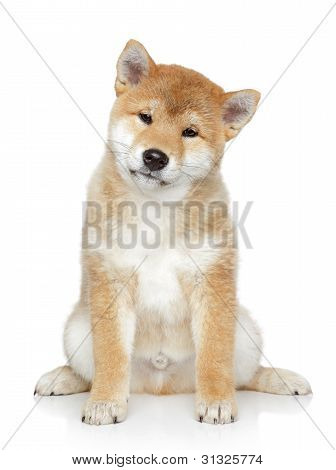 Shiba Inu Puppy Portrait On White Background