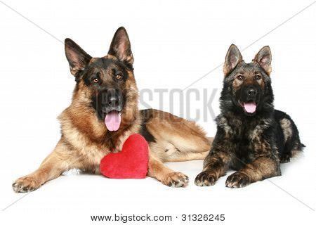Valentine German Shepherd Puppies