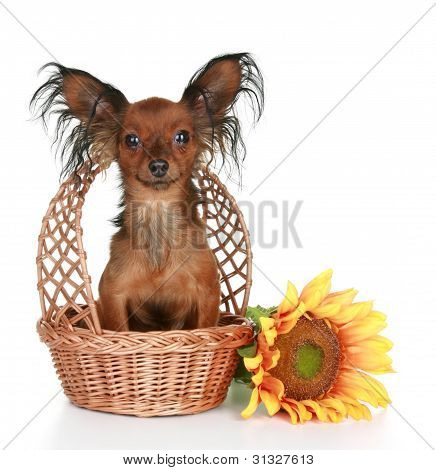 Russian Long-haired Toy Terrier Sitting In Wattled Basket