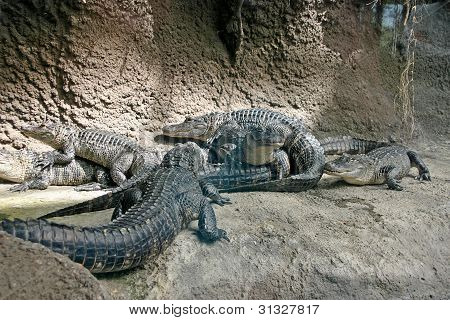 Crawling With Alligators