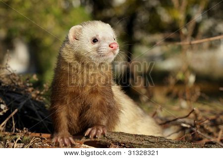 Ferret In Autumn Forest
