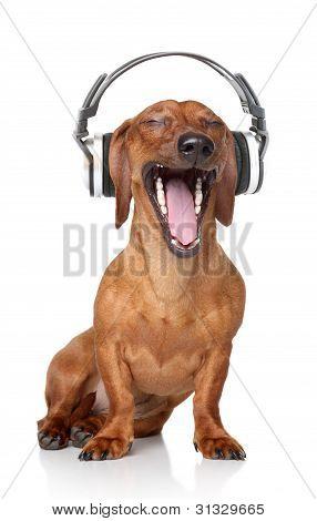 Dachshund Listen Music