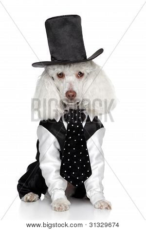 Funny Toy Poodle In A Tuxedo And Hat