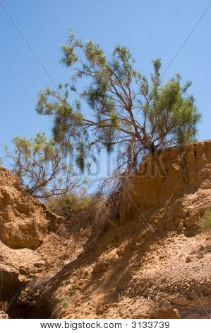 Pinetree In Desert At Red Paleontology Sandstone'S Mountain Aktau, Asia