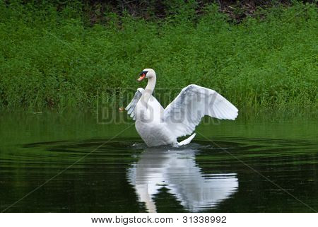 White Swan Alone On The Green Water