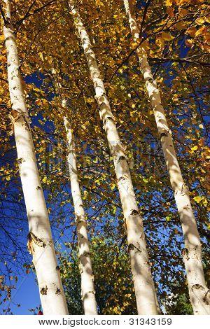 Birch Trees In Fall