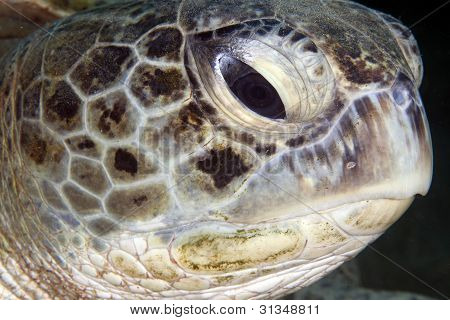 Green turtle close-up.