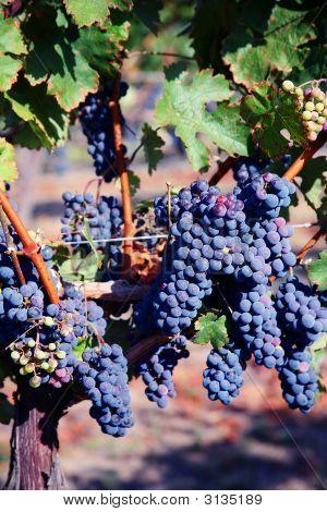 Merlot Grapes In Vineyard