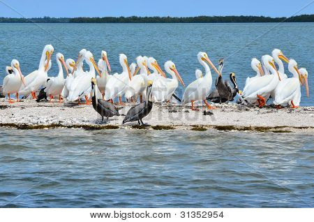 White and Brown pelicans on sandbar