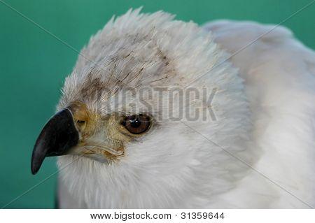 Fish Eagle Portrait