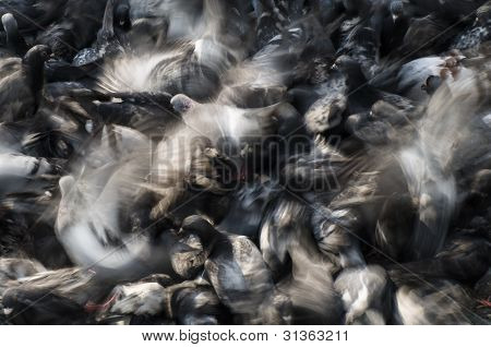 Group of pigeons feeding
