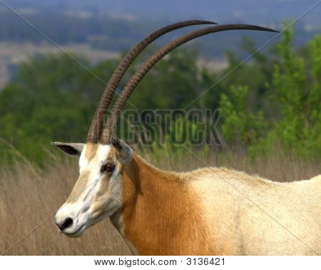 Scimitar Oryx Showing Horns