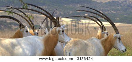 Scimitar Oryx Herd