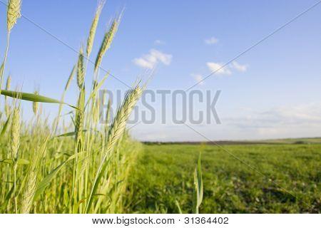 jungen Weizen Hintergrund