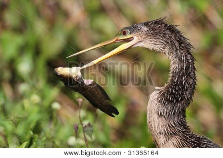 Female American Anhinga Eating a Fish - Everglades National Park, Florida