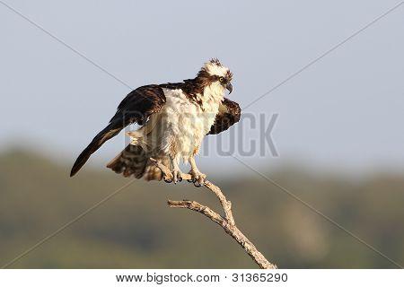 Osprey Preparing to Take Flight