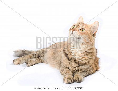 Big Tabby Siberian Cat