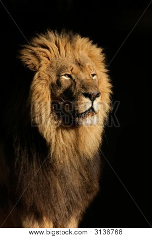 Big Male African Lion