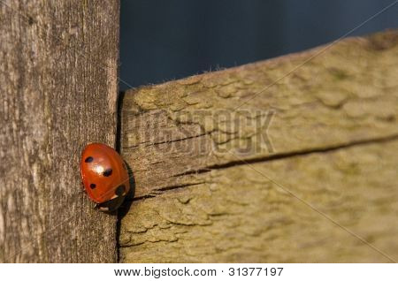 7-spot Ladybird on wooden gate post