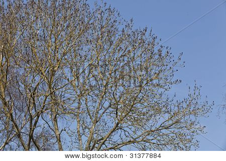 Bare Tree's Early Spring