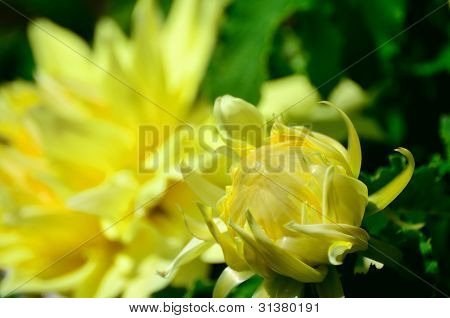Yellow Dalia Bud.