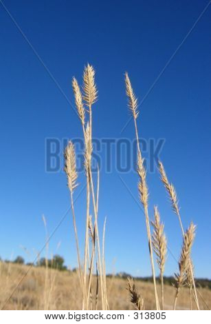 Wheatgrass Crestado
