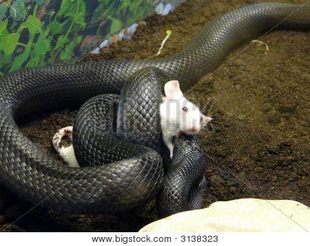 Schlange Würgen Maus