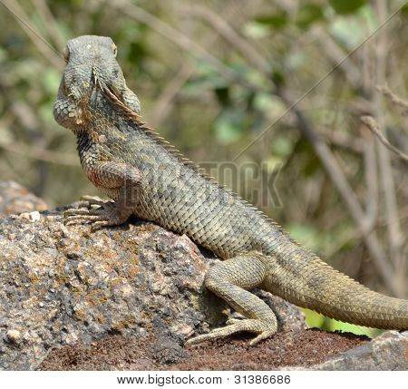 Lizard With Thick Scales Warming Up On Hot Rock