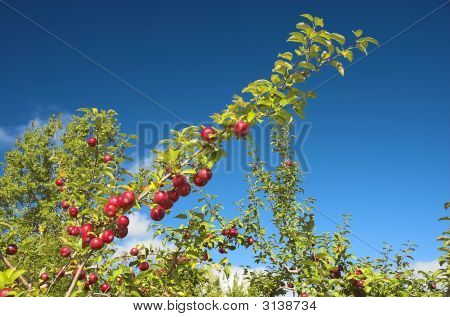 Several Apples On A Branch