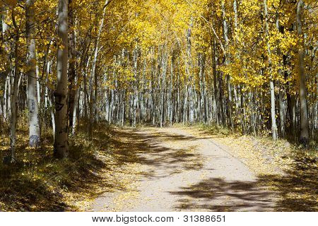 Dirt Road Through An Aspen Forest In Colorado#2