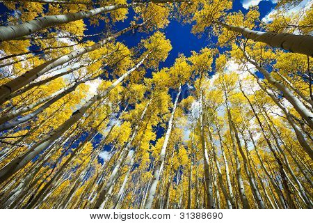 Surrounded By A Forest Of Tall Golden Aspen Trees
