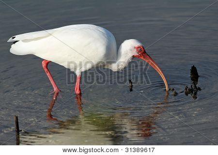 White Ibis Feeding at the Edge of a Pond - Sanibel Island, Florida