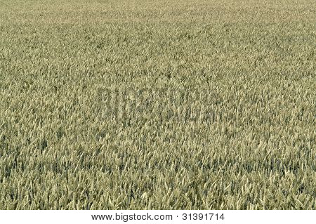 Full Frame Wheat Field