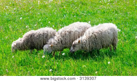 Three Dirty Cheeps Eat Grass On Meadow
