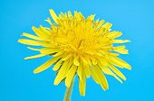 Blossoming Dandelion Yellow Head Cutout Isolated On White Background Without Shadow, Macro Photo. Da poster
