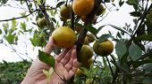 Orange Harvest. Picking Local Orange In A Tree Closeup. Healthy Fresh Fruit From The Tree. Orange In poster