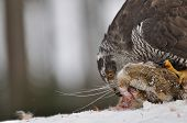 Northern Goshawk sitting on dead rabbit