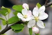 Apple Blossom, Apple Tree In Garden. Blossom Apple Blossoms Over Blurred Nature Background. Spring B poster