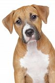 image of american staffordshire terrier  - American staffordshire terrier puppy portrait on a white background - JPG