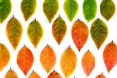 Multicolored Dry Autumn Leaves On White Background. poster