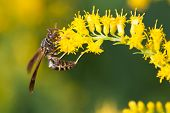 picture of goldenrod  - A wasp is feasting on some Goldenrod - JPG