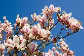 stock photo of saucer magnolia  - A glorious magnolia tree - JPG