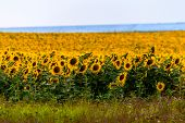 Fields With An Infinite Sunflower. Agricultural Field. Low Depth Focus poster