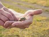 ..a Small Green Frog In The Hands Of Man. Wild Nature. The Frog Will Turn Into A Princess. poster